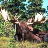 Продажа лосей на аукционе, запрет охоты и охрана сайгаков
