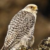 Ловчие птицы: Саудовские принцы, служба спасения и чемпионат по охоте