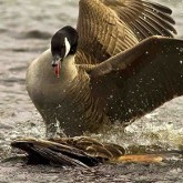 В Тверской области запрещена охота на водоплавающую дичь по понедельникам, вторникам и средам