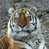 В России создан специальный фонд по охране амурских тигров