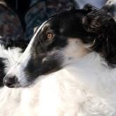 Юбилейная выставка собак в Воронеже