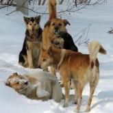 Приморье закрыло собачий сезон 2010. Осторожно !