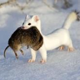 России нужна целевая программа развития звероводства