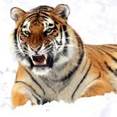 Кризис популяции тигра