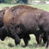 В Якутию из Канады привезли 30 племенных бизонов