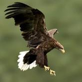 Спасение выгонощанских орланов