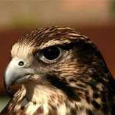 Экологи против изъятия яиц краснокнижного кречета на Чукотке