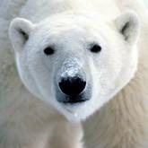 Черный рынок шкур белого медведя в РФ