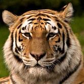 Амурский тигр объединяет охотпользователей Приморского и Хабаровского краев