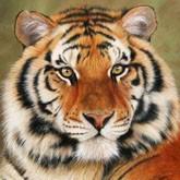Амурские тигры выиграли «льва» в Каннах (ВИДЕО)