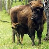 В Приокско-террасном заповеднике восстанавливают популяцию зубров