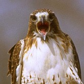 Новости о хищных птицах