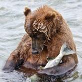 Поведение медведей в Томской и других областях