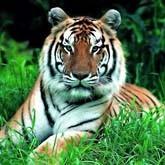 Спасать тигров Индия и Приморье будут вместе