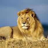 Новости о львах и тиграх