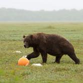 Медведи и орланы Кроноцкого заповедника