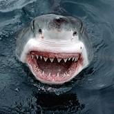 В Приморье создан штаб по поимке акулы-людоеда