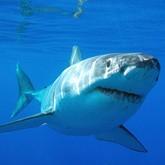 В Приморье началась охота на акул