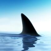 Поиски акул-людоедов не приносят результатов
