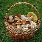 Сбор грибов и ягод в десятки раз выгоднее лесозаготовок