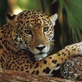 Эксперты разработали новую стратегию восстановления популяции леопарда