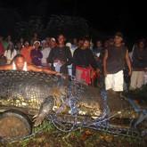 Крокодил-гигант весом в тонну попался в ловушку спустя три недели охоты