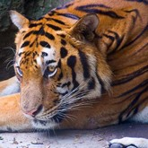 В Приморье ищут сбежавшую из вольера тигрицу