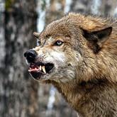 Волки вредные, волки полезные