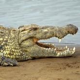 Новости о крокодилах: голодные, древние, большие