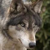 Охота с луком: Охотник добыл волка выстрелом из лука