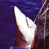 Новости об акулах. Конец сентября 2011