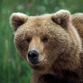 Культ личности медведя и другие новости о медведях