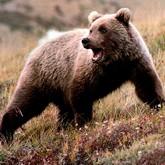 В Приморье медведь напал на пенсионера, оба ранены