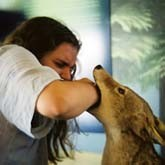 Вакцину для бешеных лис съедают… кабаны