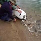 Как спасти балтийского лосося? (ВИДЕО)