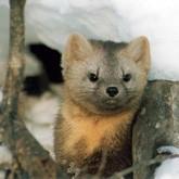 В Тюменской области открыта охота на пушных зверей