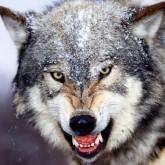 В Кузбассе волков стало меньше, и теперь на них охотятся ради азарта