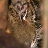 В Москве обнаружен ящик с бесхозным тигром