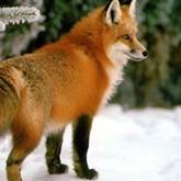Бешенство: чем опасна красная лисица