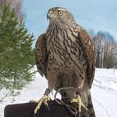 В Москве появится Центр хищных птиц