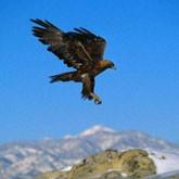 Степной орел объявлен птицей года в Казахстане