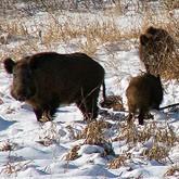 Новости Охоты: На Алтае запрещена охота на кабана
