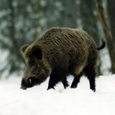 Учет диких животных в регионах и другие новости охоты