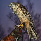 Всероссийские состязания ловчих птиц на Кубок Святого Трифона-2012