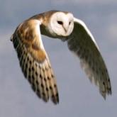 Новости орнитологии: сипухи, альбатросы, шалашники