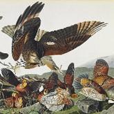 Самая дорогая книга в мире «Птицы Америки» продана за 7,9 млн.долларов (ВИДЕО)