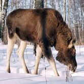 Новости о лосях в конце января (ВИДЕО)