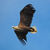 Орланы и миграция сов. Новости о птицах