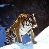 Численность амурских тигров стабилизировалась