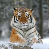 Новости о тиграх (ВИДЕО). Февраль 2012